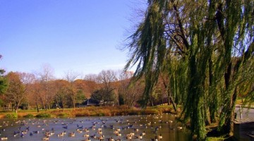 Canada Geese take one last respite in the late Fall next to the willows at Furnace Dam Park, Emmaus, Pennsylvania