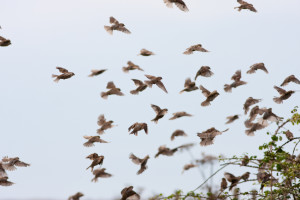 House Sparrow Flock Landing in Hedge