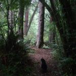 Hammi: The Norwegian Forest Cat